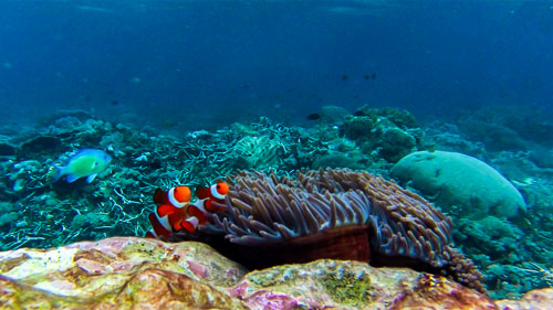 Clown fish on reef in Komodo National Park