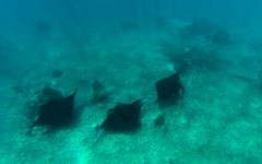 Three manta rays at Manta Point, Komodo National Park