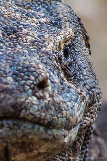 Close up view of Komodo dragon face