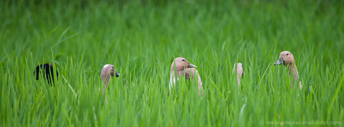 Ducks navigating a rice field - Ubud, Bali