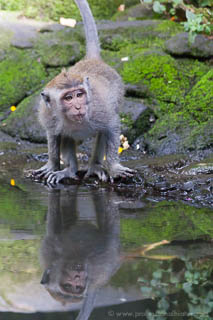 Macaque in water reflection at Monkey Forest - Ubud, Bali