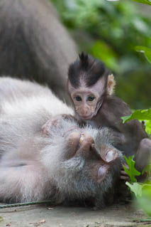 Baby macaque playing with his mom