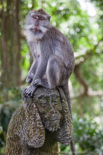 Adult macaque sitting on the 'hear no evil' monkey statue