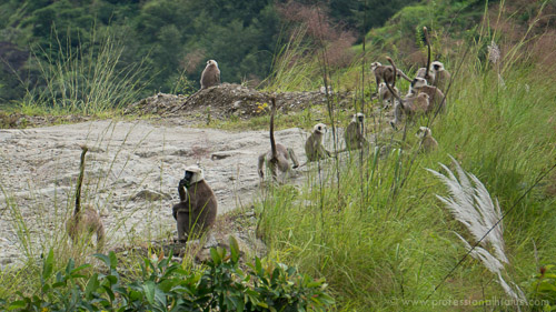 Troupe of monkeys on Annapurna Circuit trek