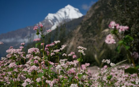 Annapurna mountain range behind buckwheat flowers